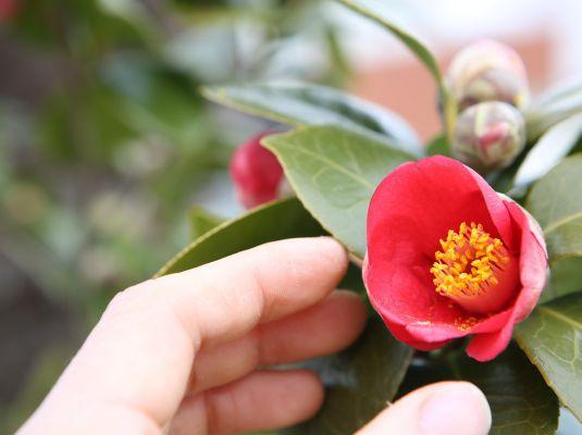 XI Camellia Exhibition