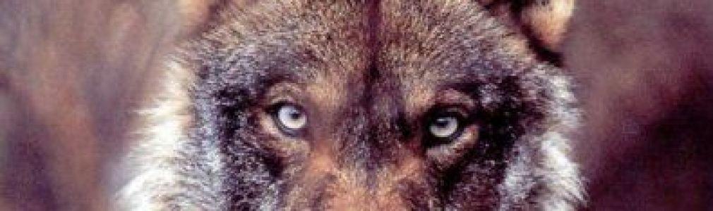 Felipe Bárcena: 'El lobo y sus presas'